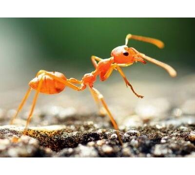 【前沿】研究称蚂蚁的定位导航能力或能启发机器人及自动车的设计
